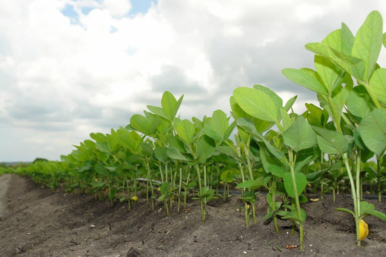 soybean plants in a field