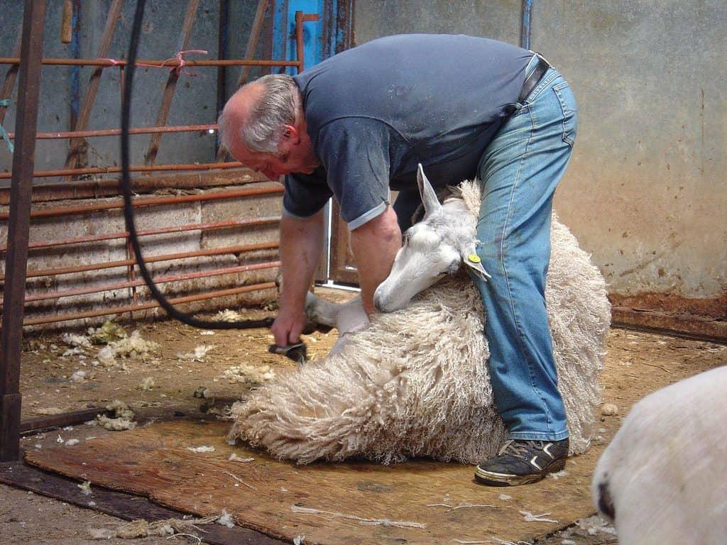 Man shearing a sheep