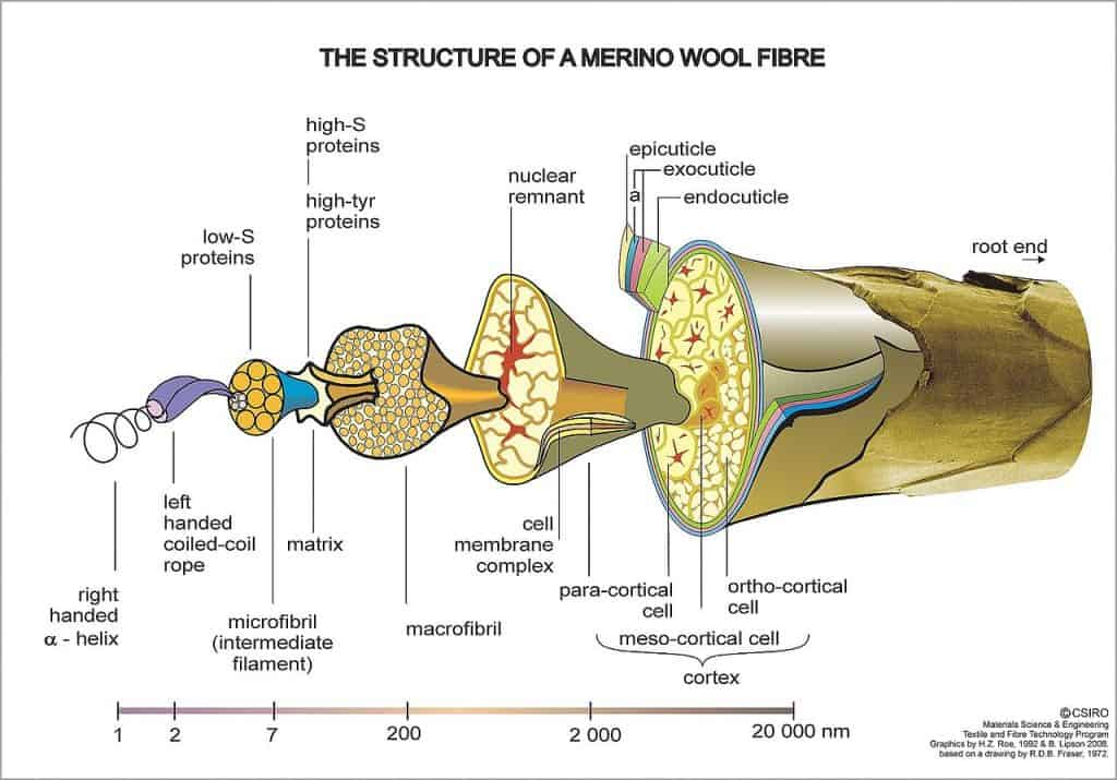 Structure of a Merino Wool Fibre