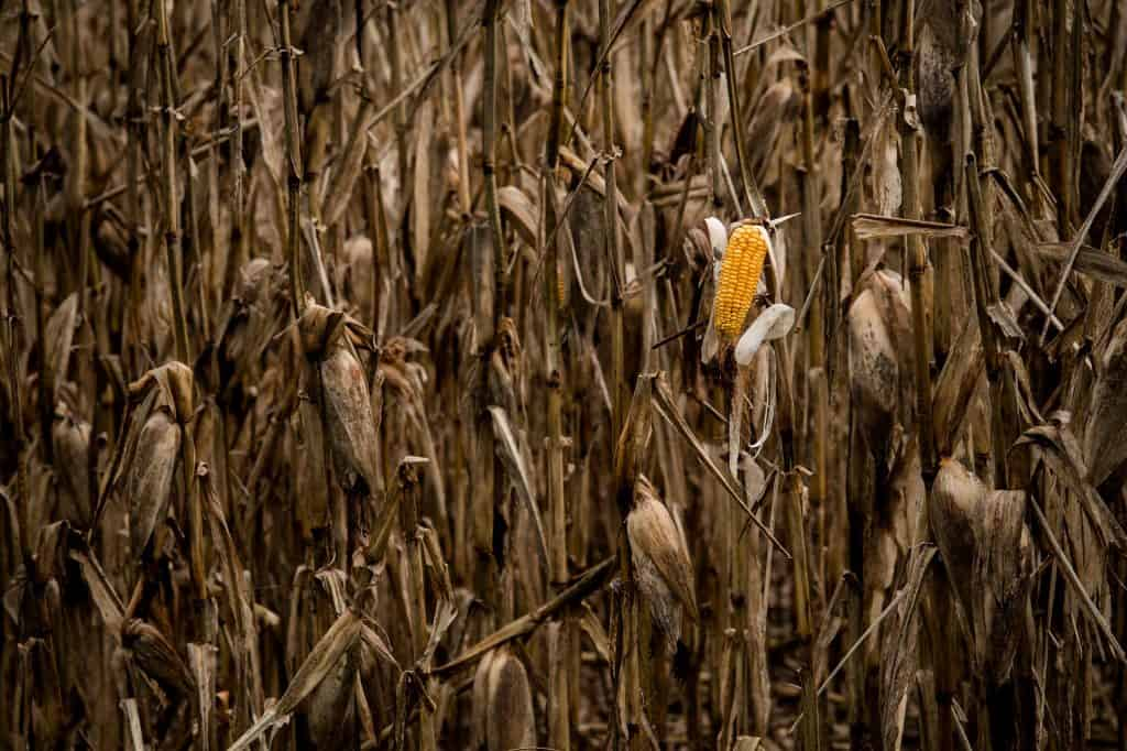 Corn Production and Climate Change