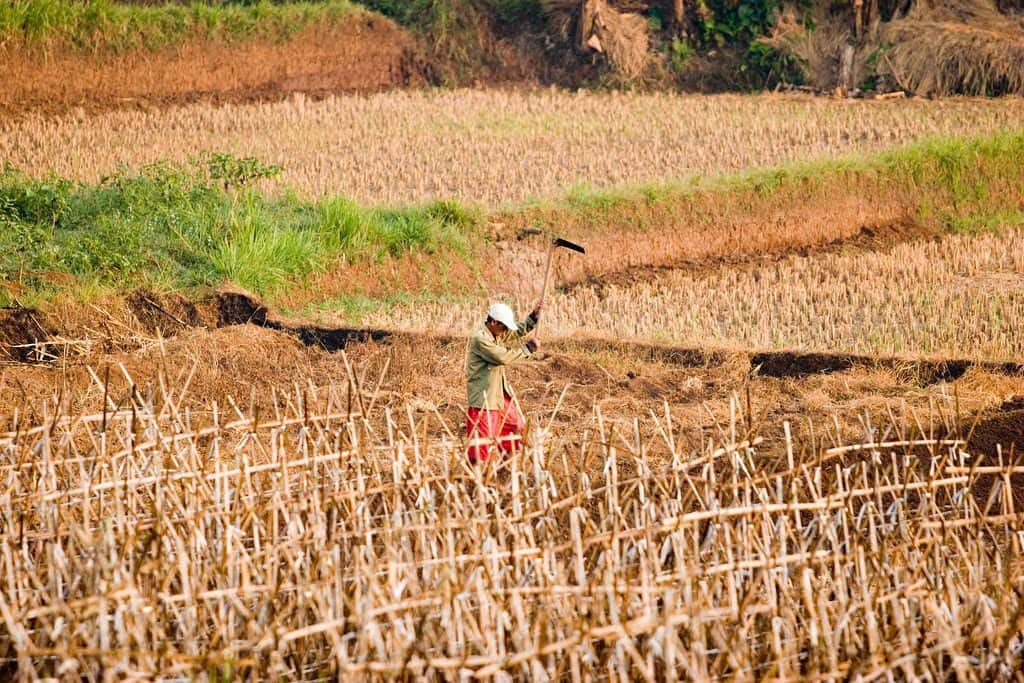 drought in rice fields via Flickr