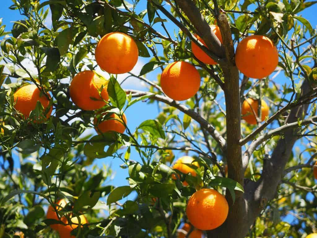 Orange Tree Growing