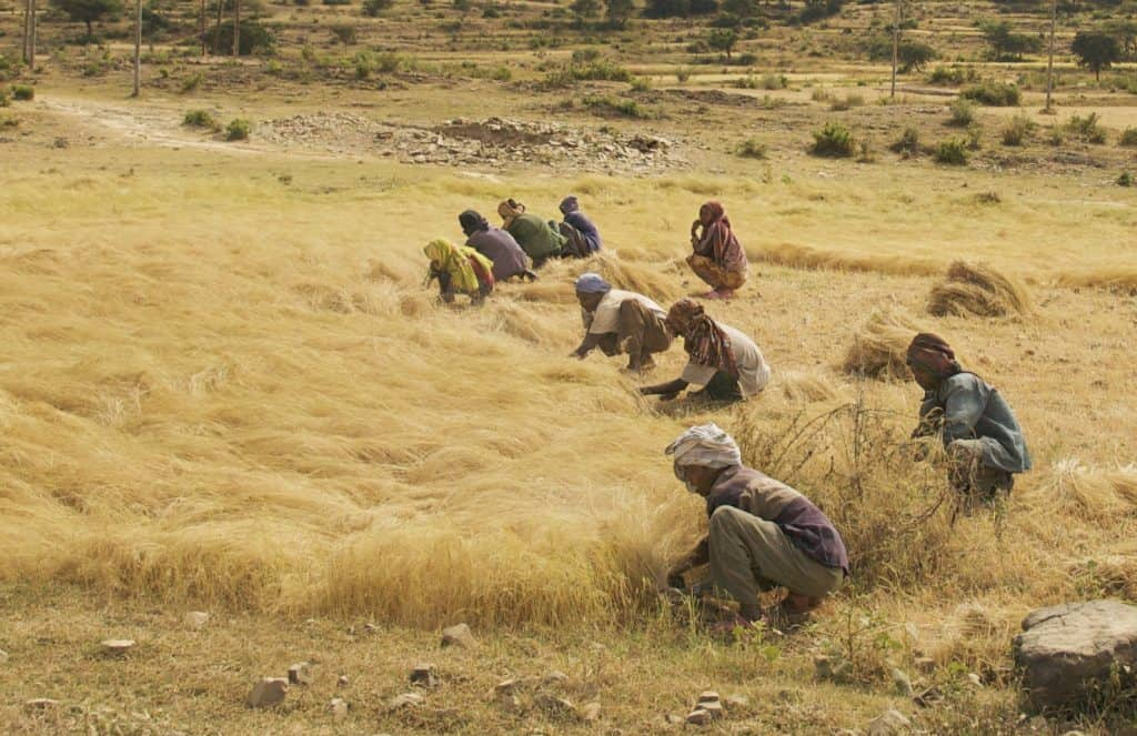 Teff Harvest in Ethiopia