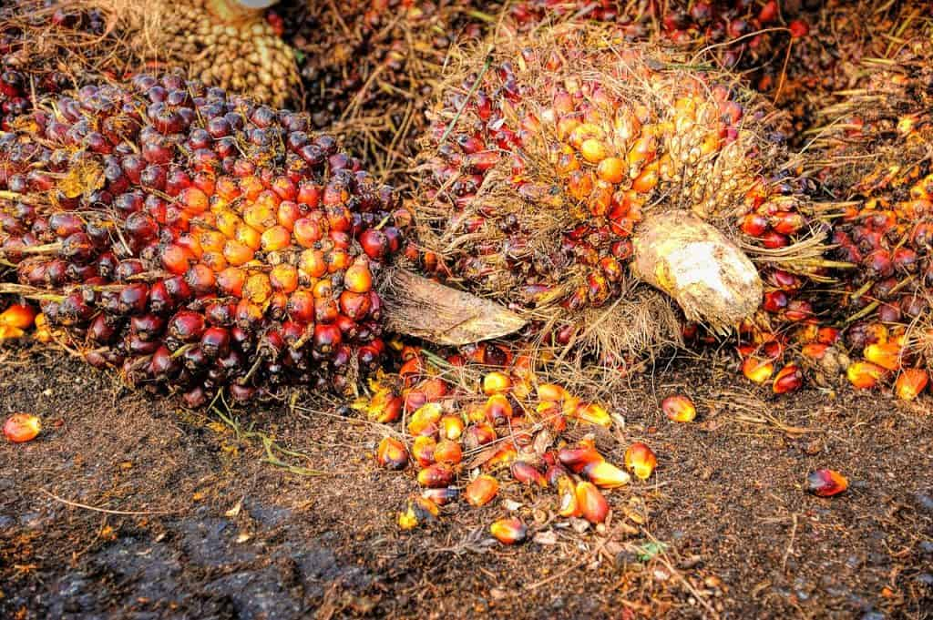 Oil Palm Tree Fruits