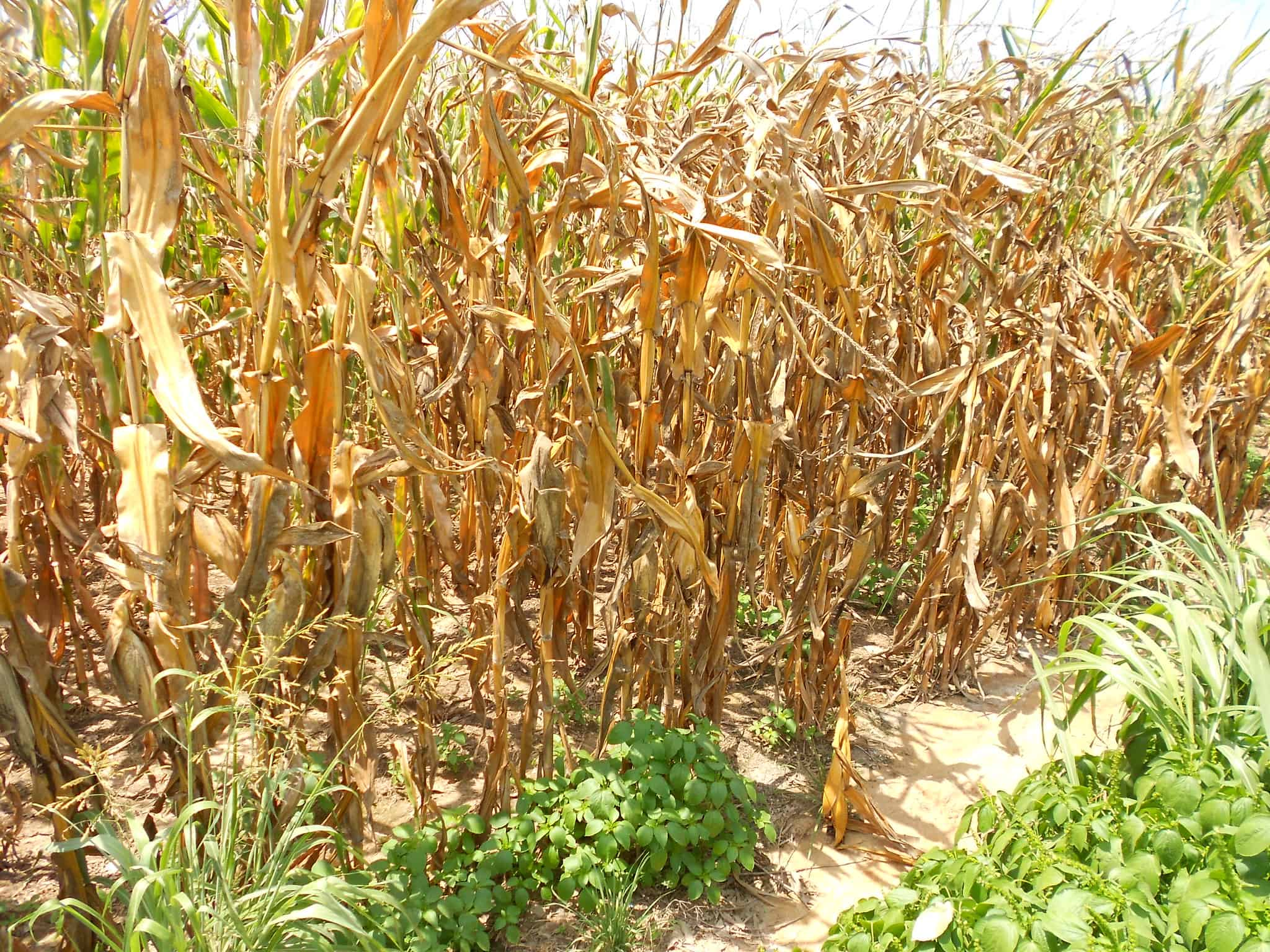 Corn affected by drought