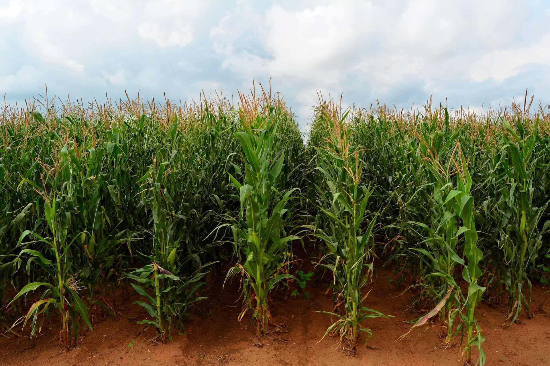 Corn grown in rows